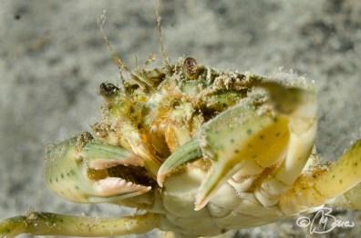 Carcinus aestuarii - Granchio comune