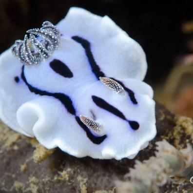 Chromodoris willani - Pasir Putih