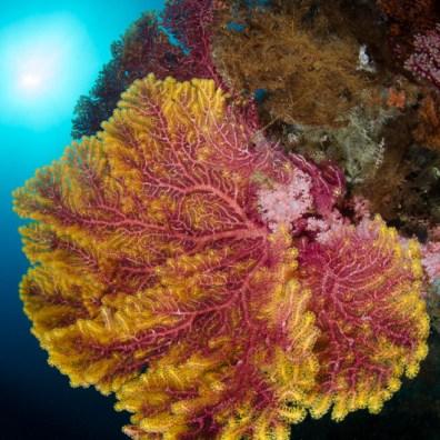 gorgonia - Tanjung Putus