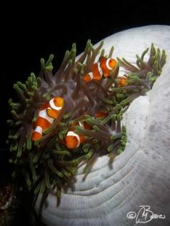 Amphiprion ocellaris - Indonesia, Raja Ampat