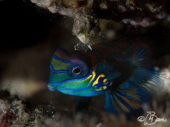Synchiropus splendidus - DLL House Reef