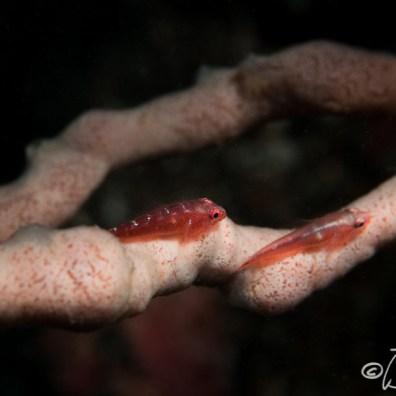 Pleurosicya annandalei - Lattuce Surpriz