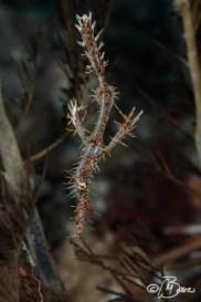 Solenostomus paradoxus - Gato island