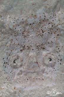 Uranoscopus sp. - Exotic house reef