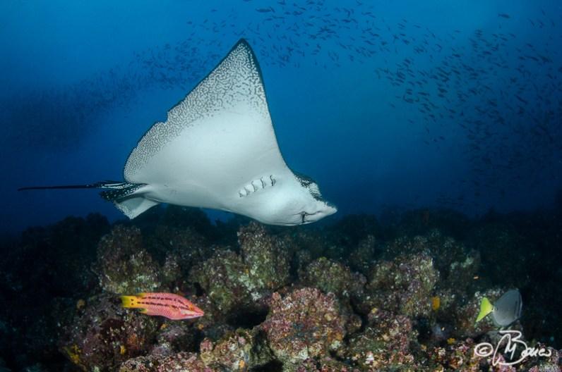 the reef - Aetobatus ocellatus