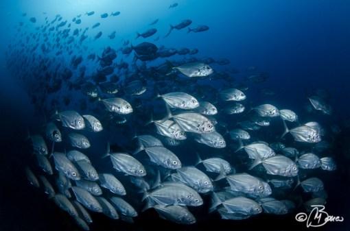 the reef - Uraspis helvola