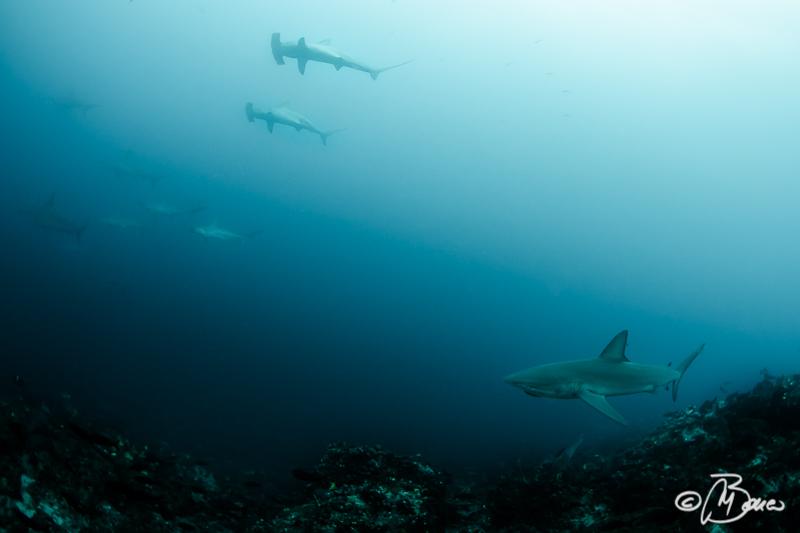 la scogliera - Carcharhinus galapagensis