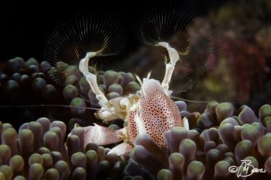 Neopetrolisthes maculatus - Pura vida