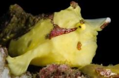 Antennarius maculatus - Bahura