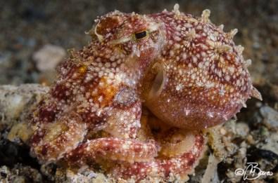 Amphioctopus mototi - Dauin north