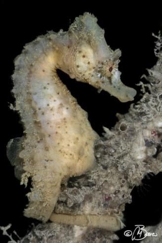 Hippocampus hippocampus - Relitto della Nicole