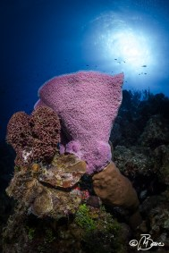 """Outer reef - Little Cayman """"Nancy's cup of tea"""""""