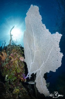 """Gorgonia ventalina - Little Cayman """"The great wall"""""""
