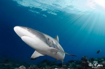 """Fathers Reefs - """"Carcharhinus amblyrhynchos"""""""