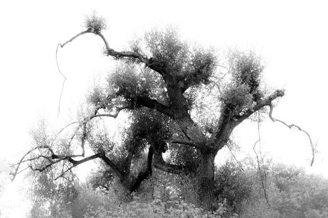 Tree - Sicily