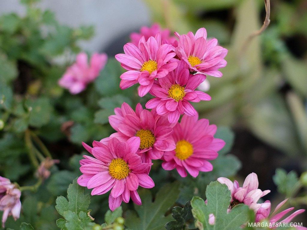 Bunga krisan untuk konservasi air