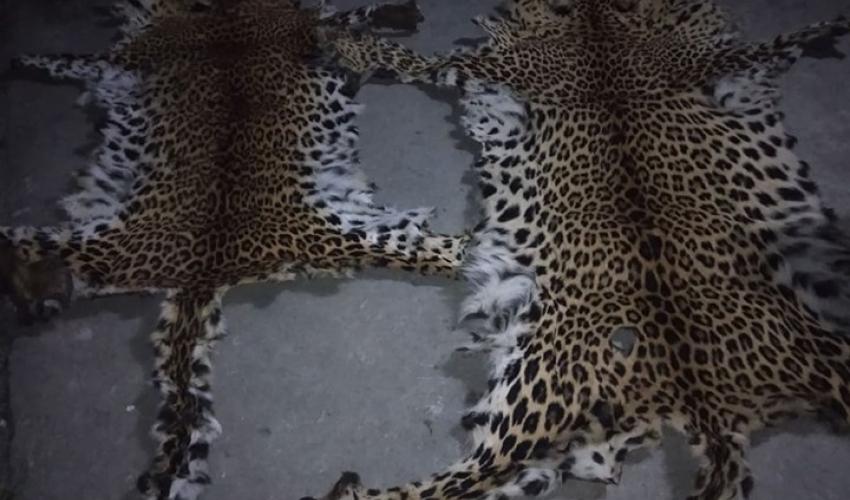 बझाङमा बाघको छाला र ९ किलो हड्डी सहित दाजुभाई पक्राउ
