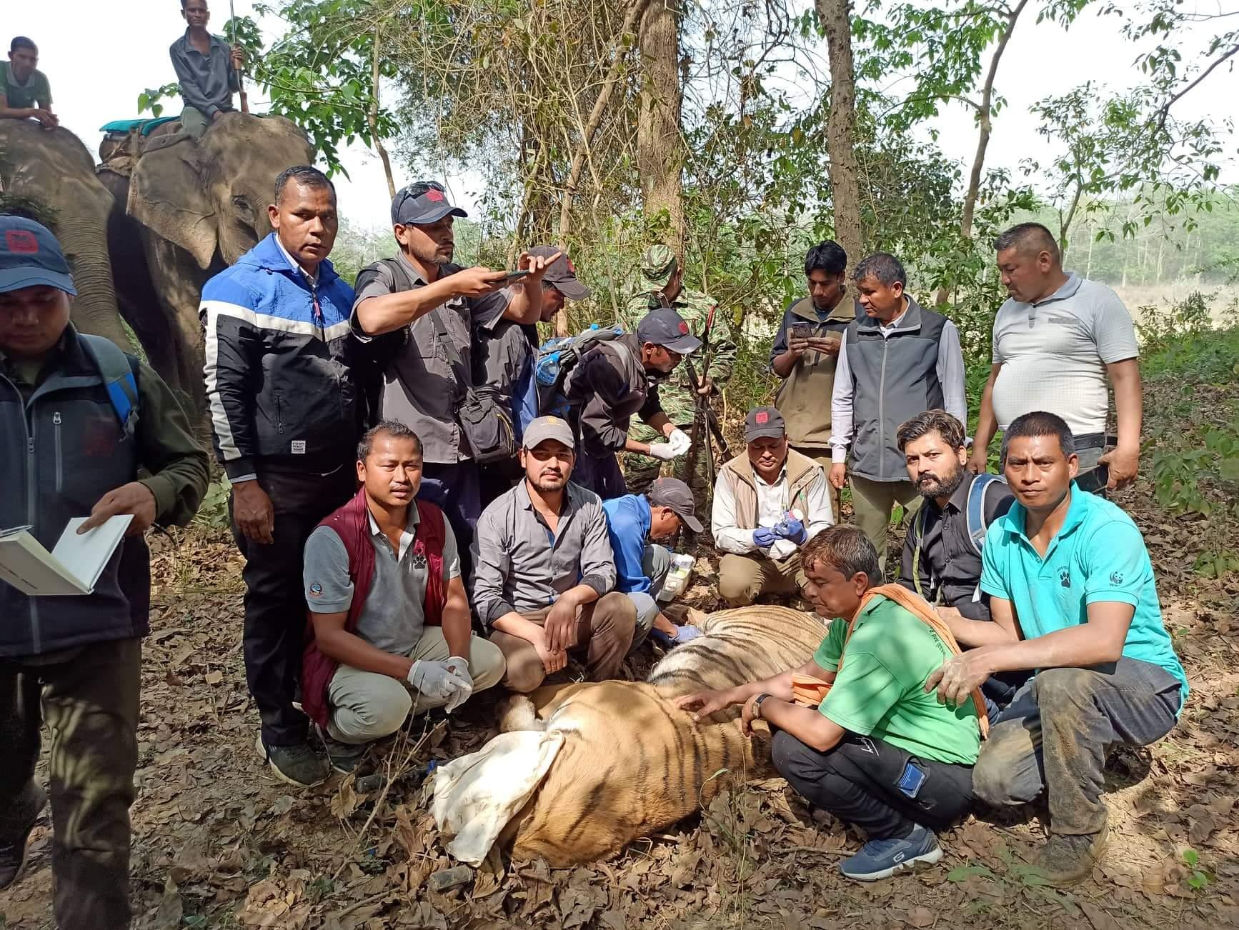 नेपाल–भारतको खाता जैविक मार्ग क्षेत्र बर्दियाबाट मान्छे खाने अर्को बाघ पनि नियन्त्रणमा