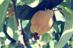 Quince from The Berry Farm