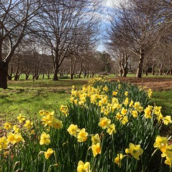 Chestnut orchard and daffodils 158