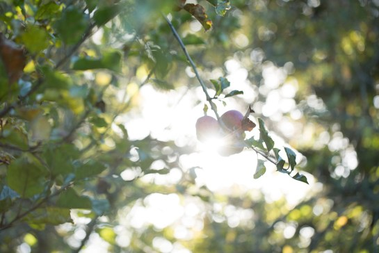 photo: sunlight through apple trees in late summer, by British Photographer Margaret Yescombe, FO6A0402-Apple-Tree-Sunlight