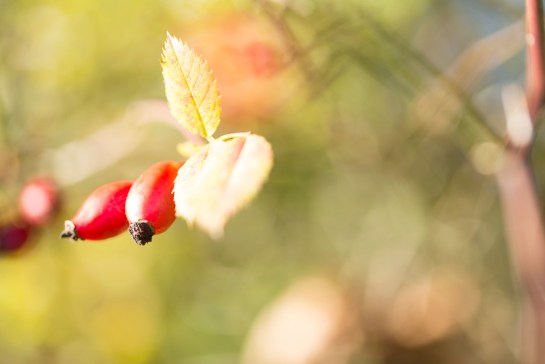 Photo: Red, rosehip, berries, growing, nature, natural, photography, photographer