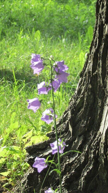 Arboretum der Baumpark in Plauen 27- Juni 2 Glockenblume am Baum021