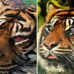 tigre opzione oculistica