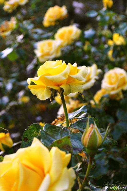 Roses in Willesden Green