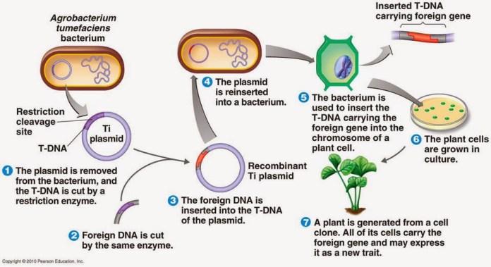 Agrobacterium_Vacunas_Comestibles_Biotecnologia_Maria_Iranzo_Biotec