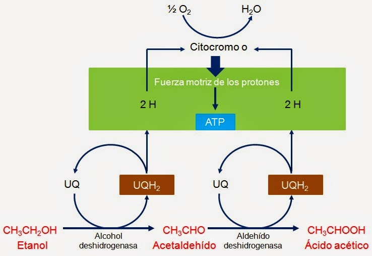 Vinagre, Producto Biotecnológico