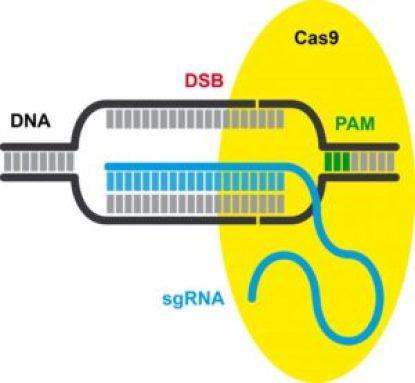 Prime_Editing_CRISPR_Cas9_Biotecnologia_Maria_Iranzo_Biotec