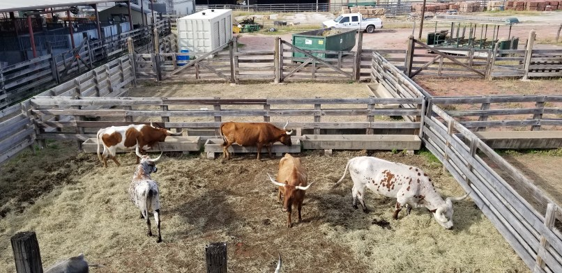 Cattle at Fort Worth