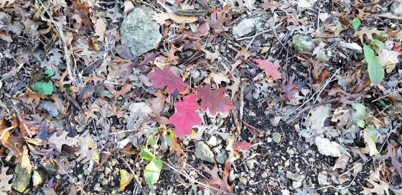 Oak leaves in Meridian State Park