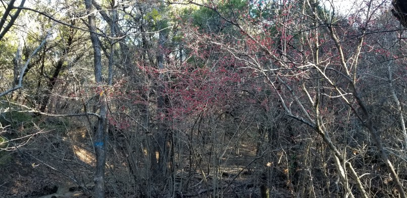 Red berries at Meridian State Park, Texas
