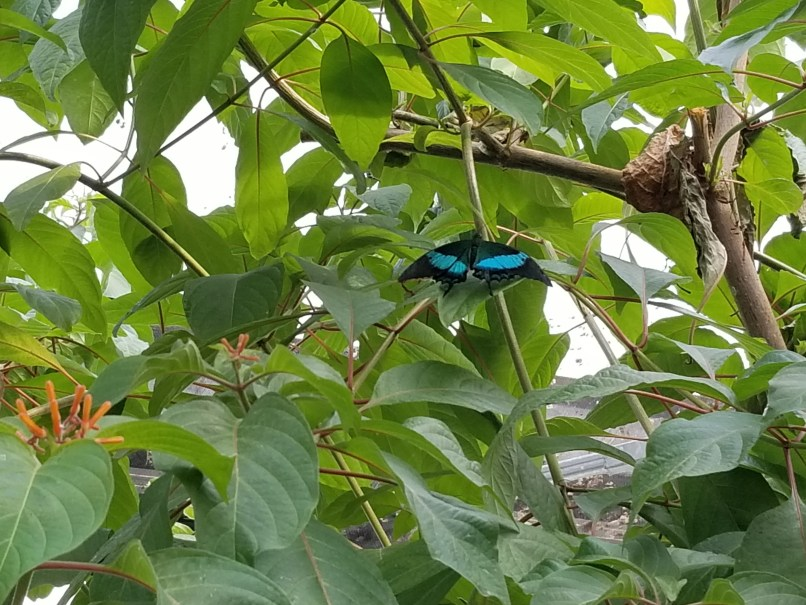 black and bright blue butterfly on green leaves at Johns Butterfly House in Medicine Hat, Alberta