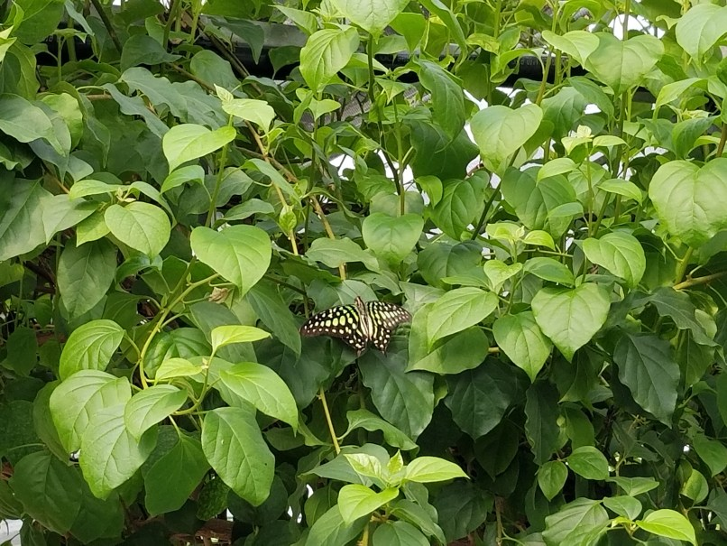 green and black butterfly on green leaves at Johns Butterfly House, Medicine Hat, Alberta