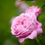 Rose – den perfekte kvinneurt