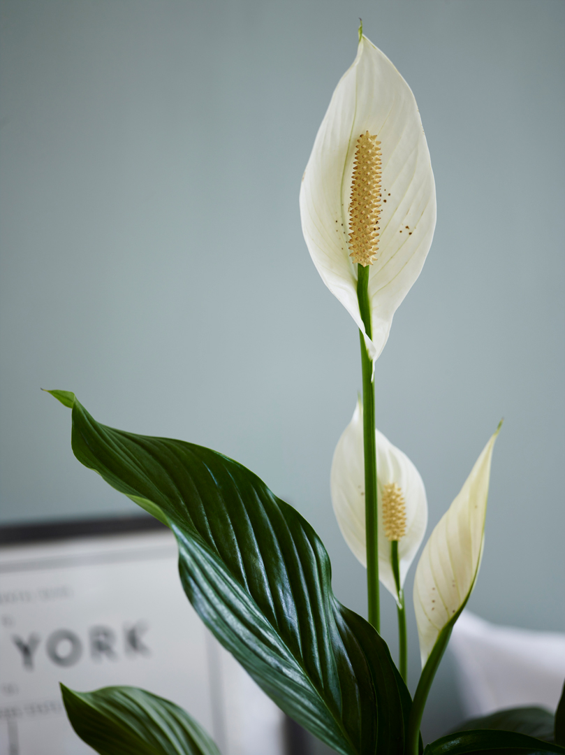 interiørtips,-DIY,-blogg,-planter,-Fredslilje,-blomster