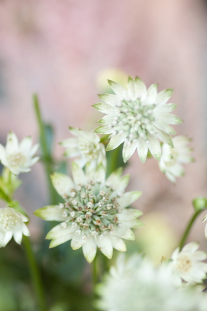 009-borddekking-med-astrantia