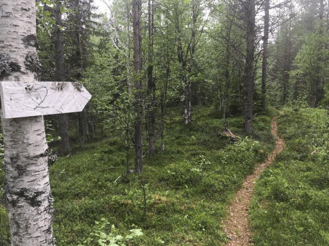 Björnspaning i Jämtland