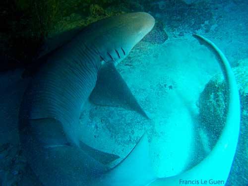 Seychelles, requin nourrice © Francis Le Guen