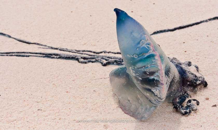 îles des Bermudes, Physalia utriculus ou physalie bleue © Marie-Ange Ostré