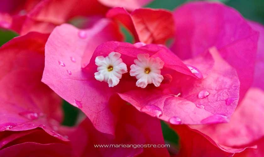 Marquises, fleurs de bougainvillées © Marie-Ange Ostré