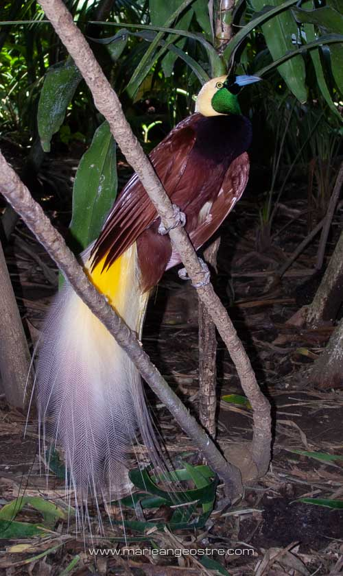 Bali, oiseau de paradis © Marie-Ange Ostré
