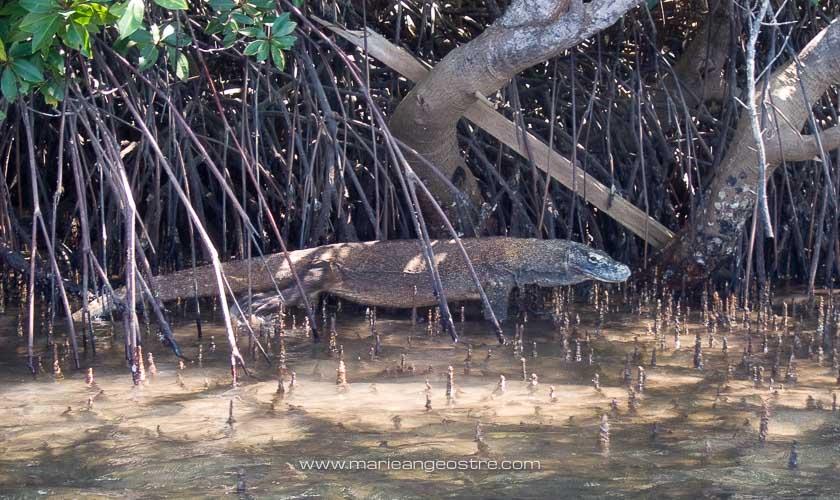 Indonésie, dragon de Komodo dans mangrove © Marie-Ange Ostré