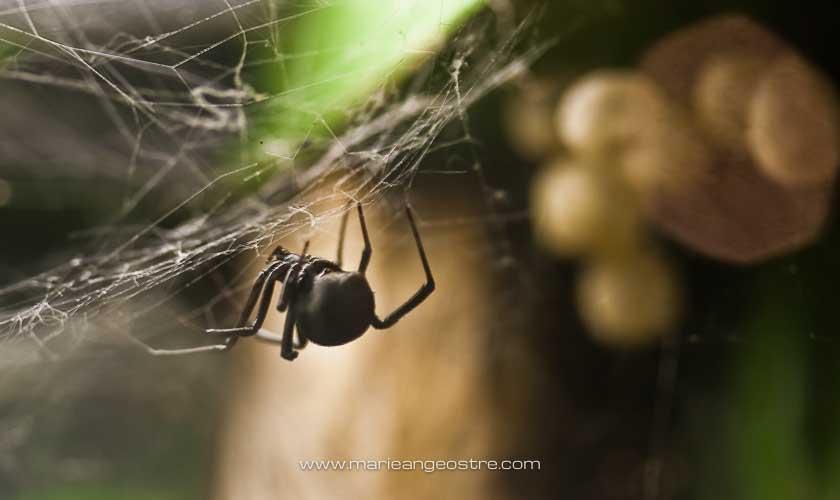 Australie, araignée red back de Sydney © Marie-Ange Ostré