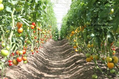 Mandelmanns-tomater-vaxthus