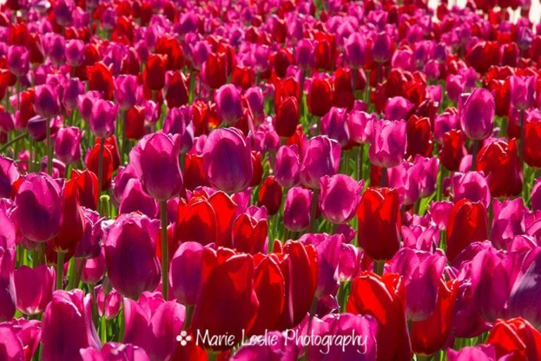 A Sea of Pinks