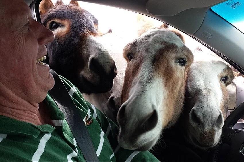 custer state park donkeys